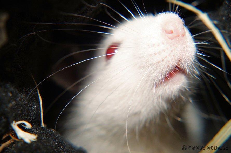 Elektromagnetinės spinduliuotės tyrimai su žiurkėmis