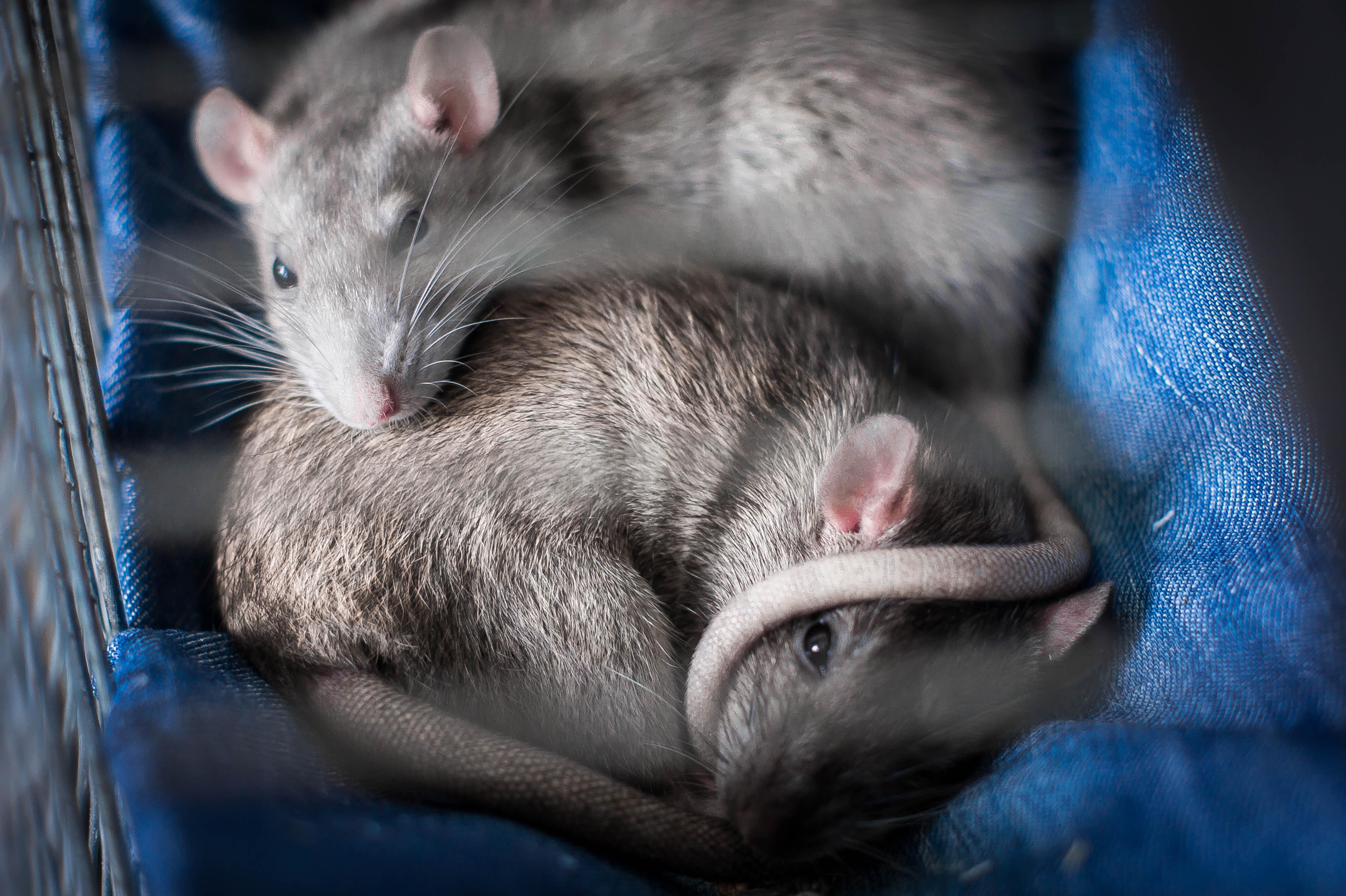 Tyrimai su žiurkėmis